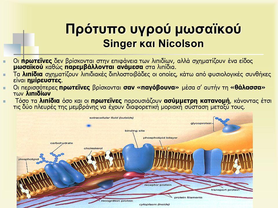 Πρότυπο υγρού μωσαϊκού Singer και Nicolson Οι πρωτεΐνες δεν βρίσκονται στην επιφάνεια των λιπιδίων, αλλά σχηματίζουν ένα είδος μωσαϊκού καθώς παρεμβάλλονται ανάμεσα στα λιπίδια.