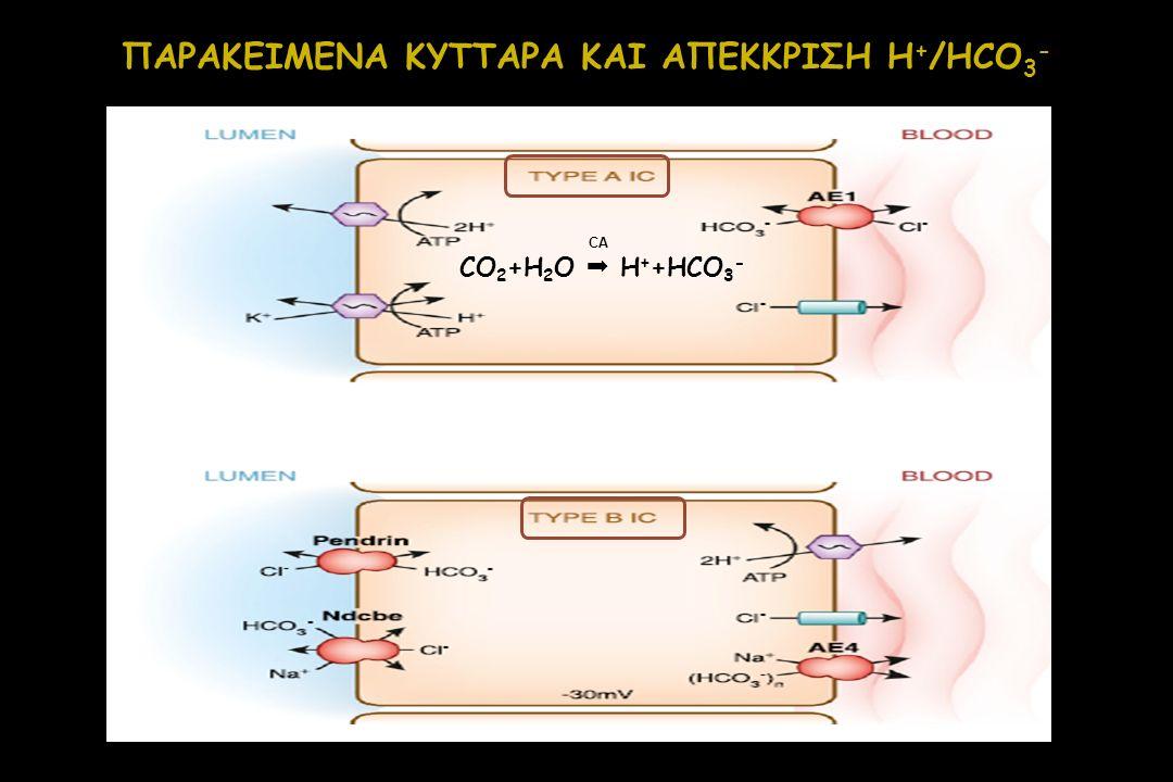 ΠΑΡΑΚΕΙΜΕΝΑ ΚΥΤΤΑΡΑ ΚΑΙ ΑΠΕΚΚΡΙΣΗ H + /HCO 3 - CO 2 +H 2 O  H + +HCO 3 - CA