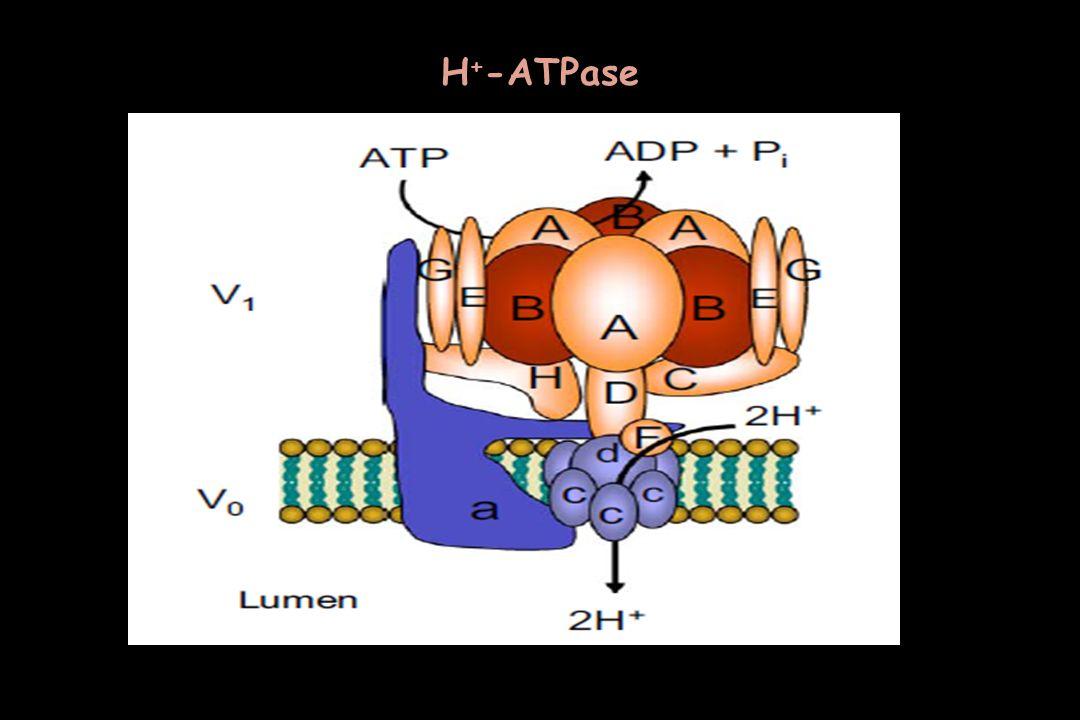Η + -ATPase