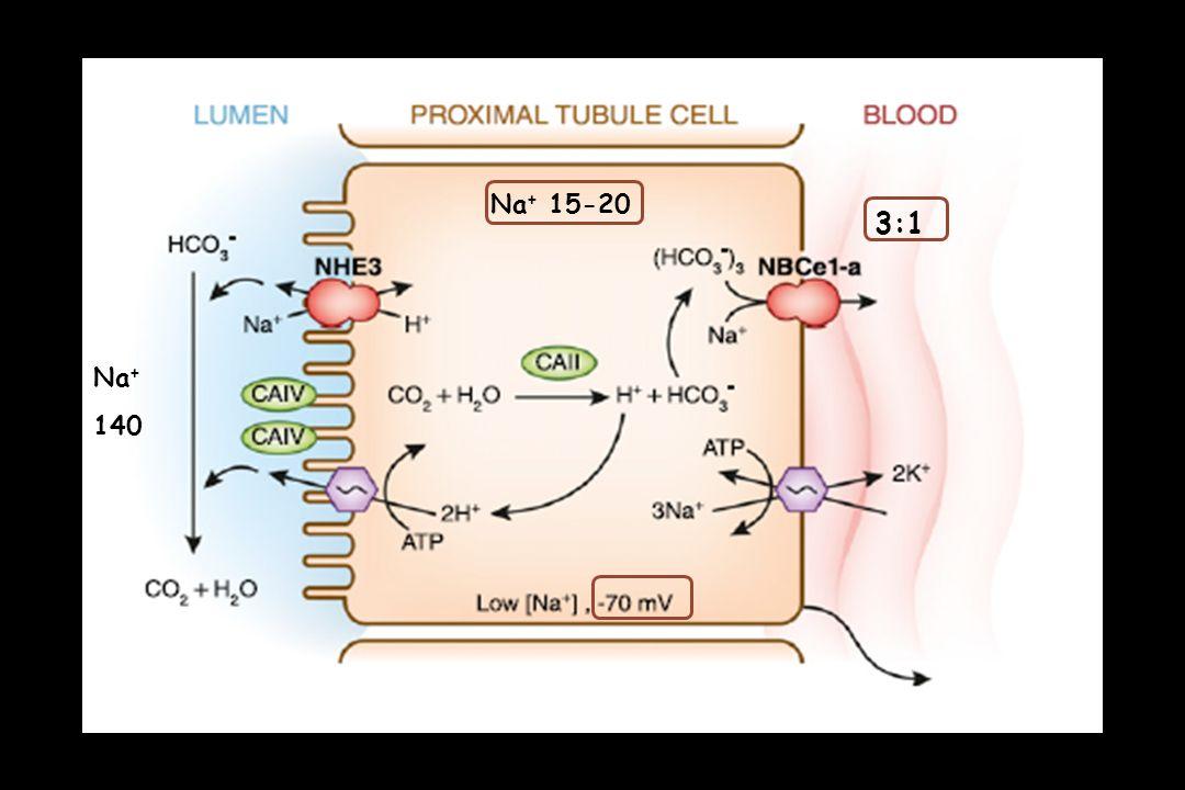 ΠΑΡΑΜΕΤΡΟΙ ΠΟΥ ΕΠΗΡΕΑΖΟΥΝ ΤΗΝ ΕΠΑΝΑΡΡΟΦΗΣΗ ΤΩΝ HCO 3 - (ΕΓΓΥΣ ΕΣΠΕΙΡΑΜΜΕΝΑ ΣΩΛΗΝΑΡΙΑ) 1 A)  pH Na + - H + EXCHANGER, Na + - HCO 3 - COTRANSPORTER (THROUGH INTRARENAL ENDOTHELIN -1) B) ΥΠΟΚΑΛΙΑΙΜΙΑ  ΕΝΔΟΚΥΤΤΑΡΙΟΥ pH H + SECRETION SENSORS pH