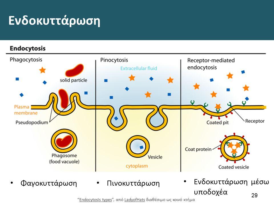 """Ενδοκυττάρωση 29 Φαγοκυττάρωση Πινοκυττάρωση """"Endocytosis types"""", από LadyofHats διαθέσιμο ως κοινό κτήμαEndocytosis typesLadyofHats Ενδοκυττάρωση μέσ"""