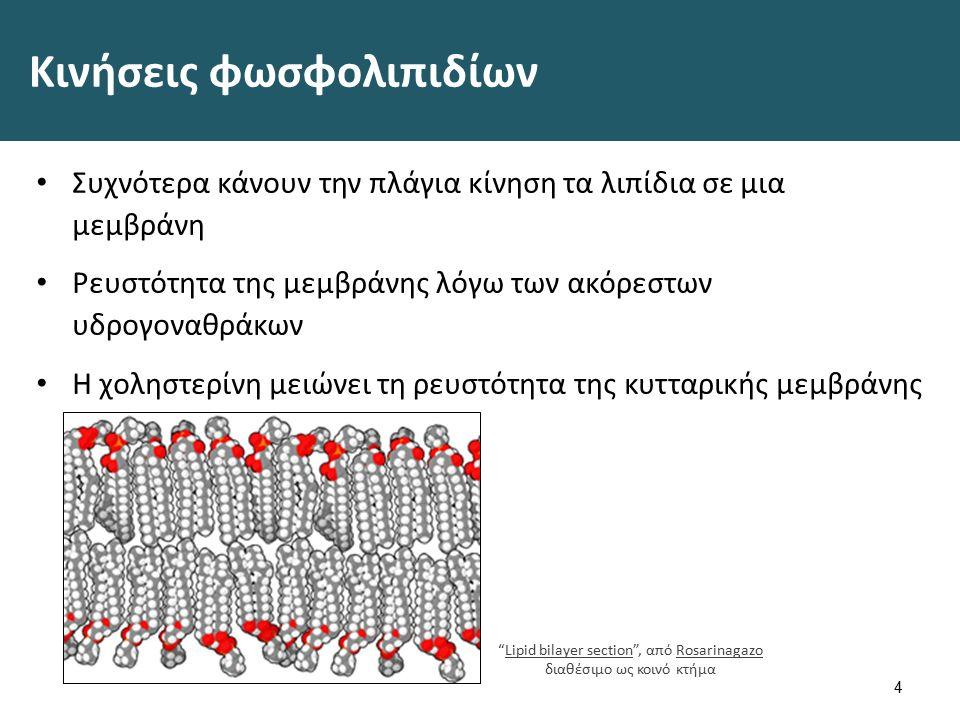 Κινήσεις φωσφολιπιδίων Συχνότερα κάνουν την πλάγια κίνηση τα λιπίδια σε μια μεμβράνη Ρευστότητα της μεμβράνης λόγω των ακόρεστων υδρογοναθράκων Η χοληστερίνη μειώνει τη ρευστότητα της κυτταρικής μεμβράνης 4 Lipid bilayer section , από Rosarinagazo διαθέσιμο ως κοινό κτήμαLipid bilayer sectionRosarinagazo