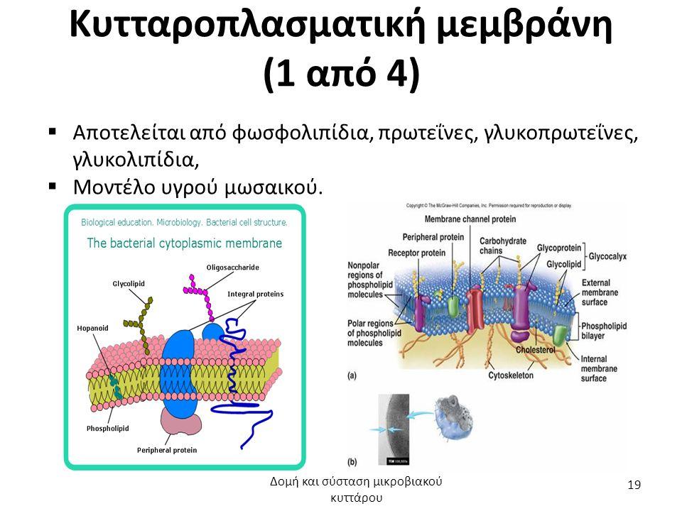 Κυτταροπλασματική μεμβράνη (1 από 4)  Αποτελείται από φωσφολιπίδια, πρωτεΐνες, γλυκοπρωτεΐνες, γλυκολιπίδια,  Μοντέλο υγρού μωσαικού. Δομή και σύστα