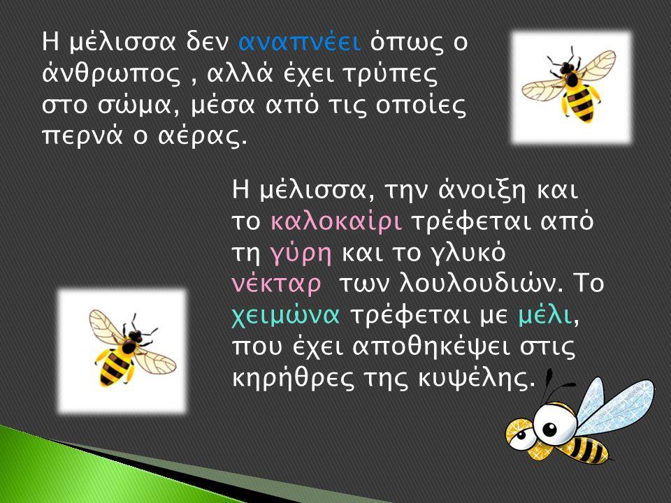 Η μέλισσα δεν αναπνέει όπως ο άνθρωπος, αλλά έχει τρύπες στο σώμα, μέσα από τις οποίες περνά ο αέρας.