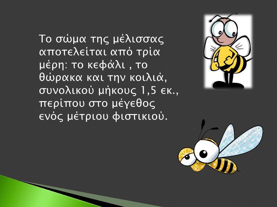Το σώμα της μέλισσας αποτελείται από τρία μέρη: το κεφάλι, το θώρακα και την κοιλιά, συνολικού μήκους 1,5 εκ., περίπου στο μέγεθος ενός μέτριου φιστικιού.