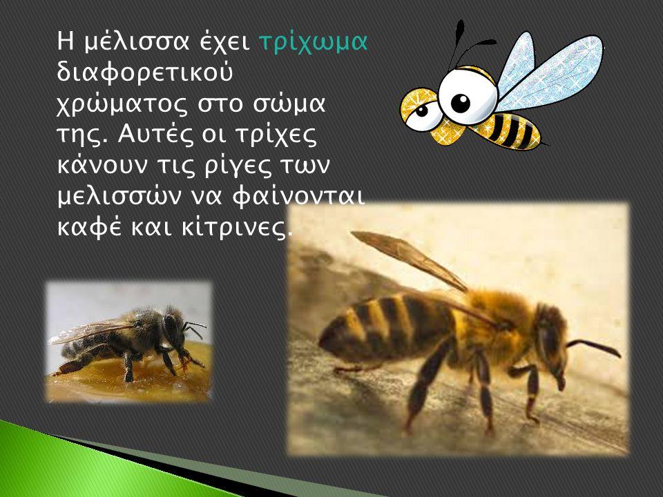 Η μέλισσα έχει τρίχωμα διαφορετικού χρώματος στο σώμα της.