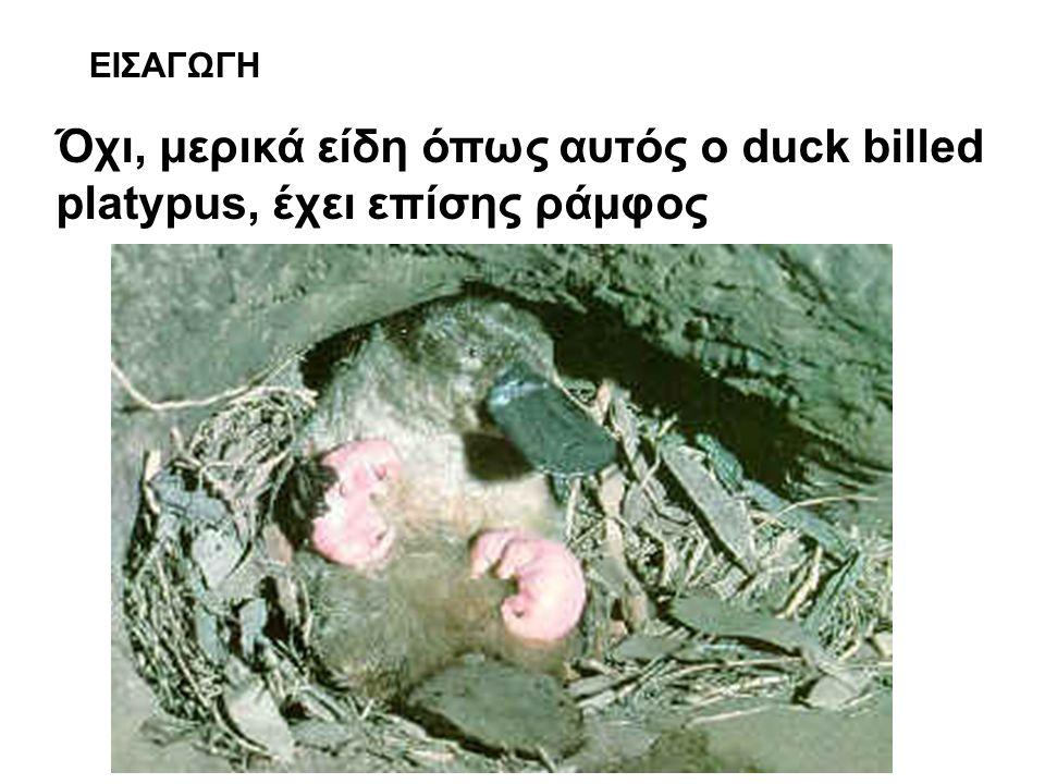 Όχι, μερικά είδη όπως αυτός ο duck billed platypus, έχει επίσης ράμφος