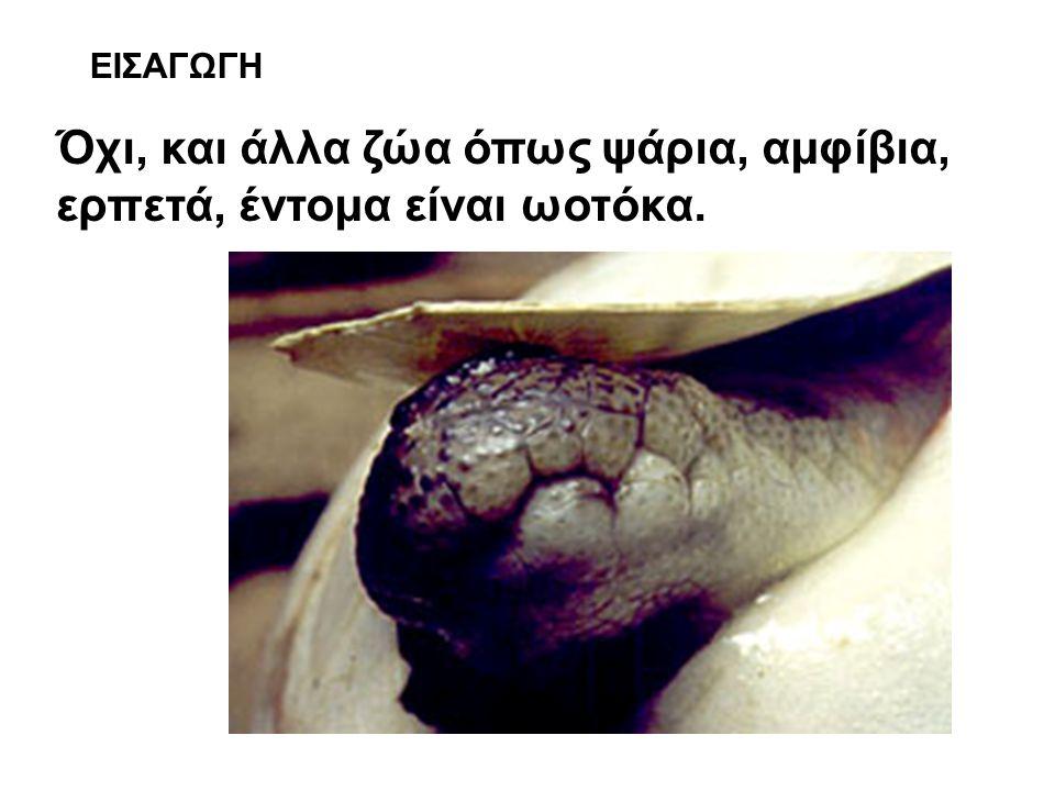 Όχι, και άλλα ζώα όπως ψάρια, αμφίβια, ερπετά, έντομα είναι ωοτόκα.
