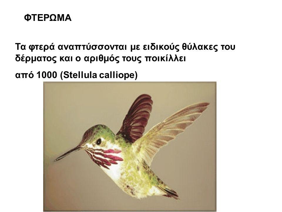 ΦΤΕΡΩΜΑ Τα φτερά αναπτύσσονται με ειδικούς θύλακες του δέρματος και ο αριθμός τους ποικίλλει από 1000 (Stellula calliope)