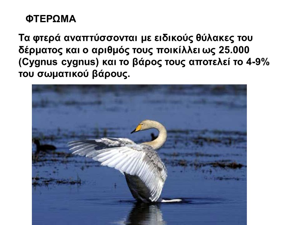 ΦΤΕΡΩΜΑ Τα φτερά αναπτύσσονται με ειδικούς θύλακες του δέρματος και ο αριθμός τους ποικίλλει ως 25.000 (Cygnus cygnus) και το βάρος τους αποτελεί το 4-9% του σωματικού βάρους.