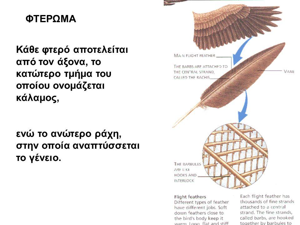 ΦΤΕΡΩΜΑ Κάθε φτερό αποτελείται από τον άξονα, το κατώτερο τμήμα του οποίου ονομάζεται κάλαμος, ενώ το ανώτερο ράχη, στην οποία αναπτύσσεται το γένειο.