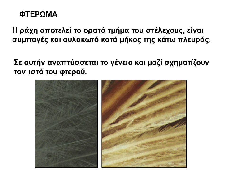 ΦΤΕΡΩΜΑ Η ράχη αποτελεί το ορατό τμήμα του στέλεχους, είναι συμπαγές και αυλακωτό κατά μήκος της κάτω πλευράς.