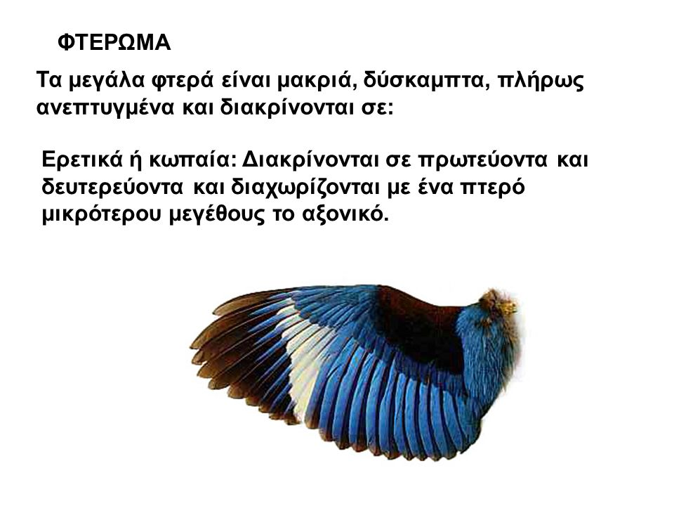 ΦΤΕΡΩΜΑ Τα μεγάλα φτερά είναι μακριά, δύσκαμπτα, πλήρως ανεπτυγμένα και διακρίνονται σε: Ερετικά ή κωπαία: Διακρίνονται σε πρωτεύοντα και δευτερεύοντα και διαχωρίζονται με ένα πτερό μικρότερου μεγέθους το αξονικό.