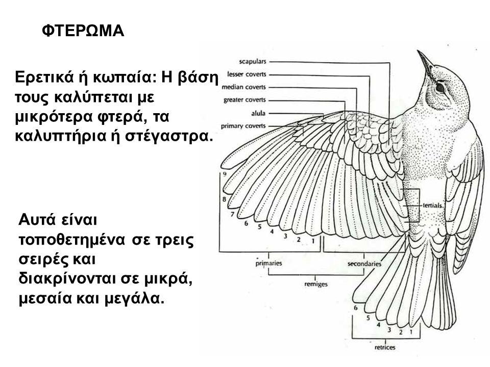 ΦΤΕΡΩΜΑ Ερετικά ή κωπαία: Η βάση τους καλύπεται με μικρότερα φτερά, τα καλυπτήρια ή στέγαστρα.