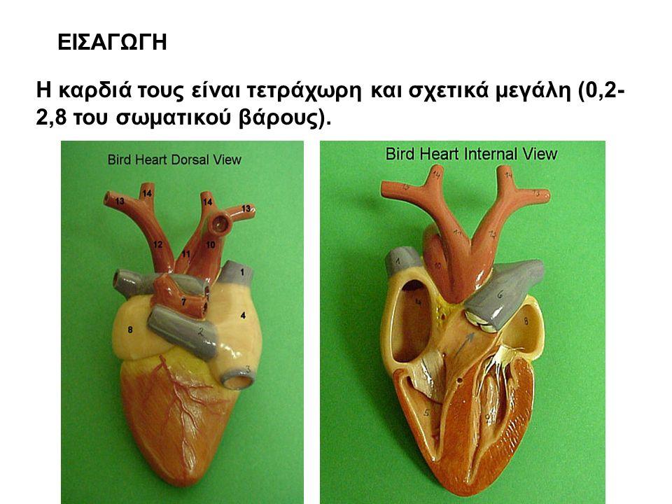 ΕΙΣΑΓΩΓΗ Η καρδιά τους είναι τετράχωρη και σχετικά μεγάλη (0,2- 2,8 του σωματικού βάρους).