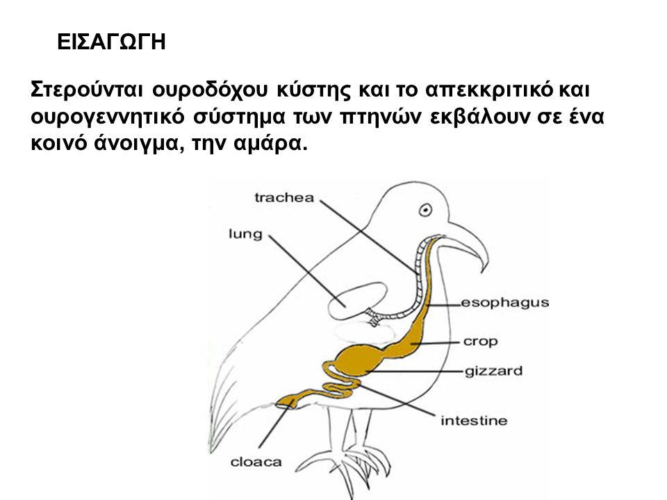 ΕΙΣΑΓΩΓΗ Στερούνται ουροδόχου κύστης και το απεκκριτικό και ουρογεννητικό σύστημα των πτηνών εκβάλουν σε ένα κοινό άνοιγμα, την αμάρα.