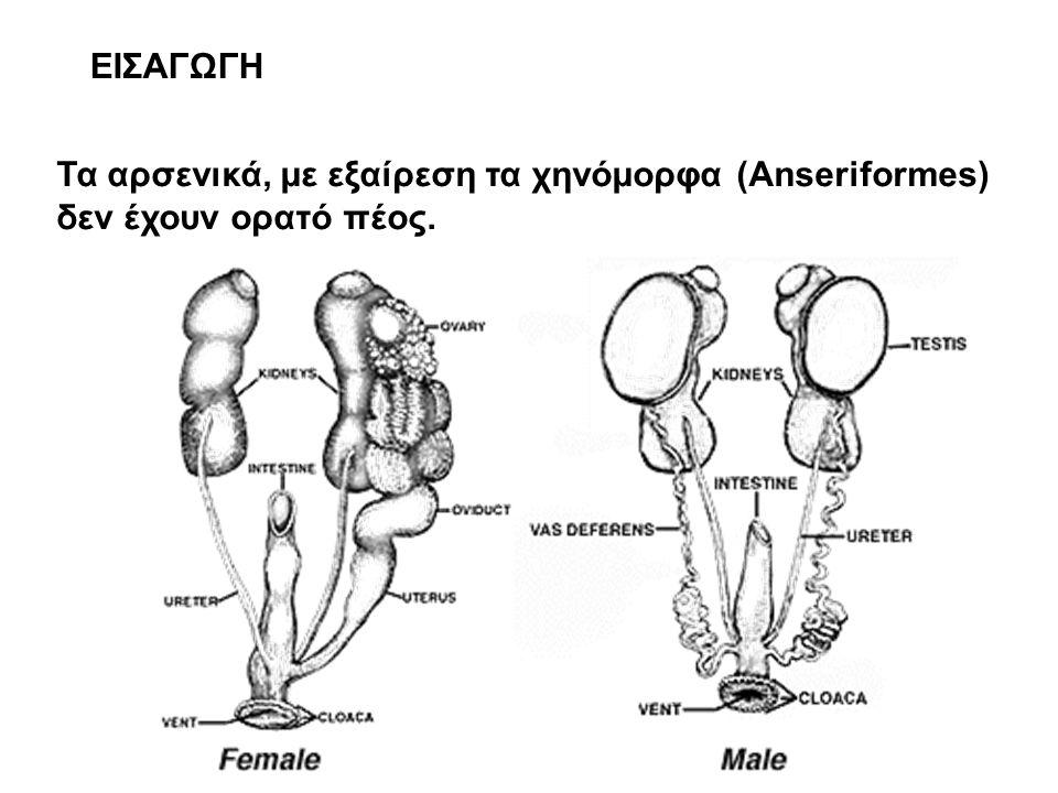 ΕΙΣΑΓΩΓΗ Τα αρσενικά, με εξαίρεση τα χηνόμορφα (Anseriformes) δεν έχουν ορατό πέος.