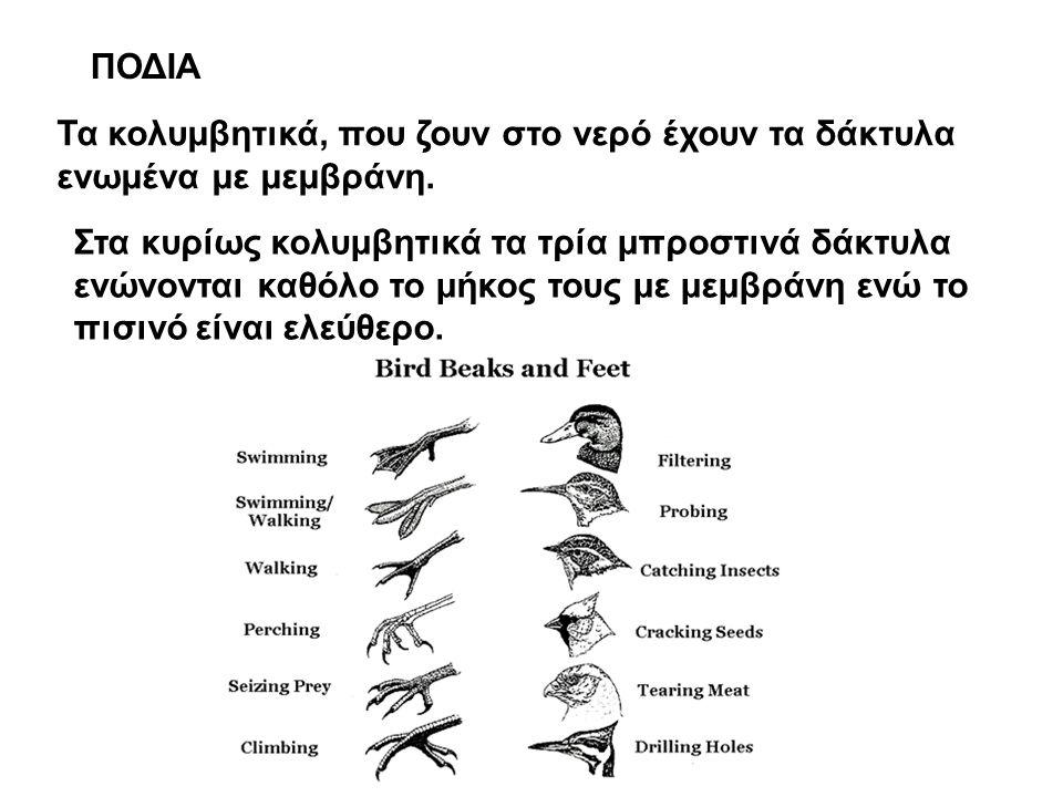 ΠΟΔΙΑ Τα κολυμβητικά, που ζουν στο νερό έχουν τα δάκτυλα ενωμένα με μεμβράνη.