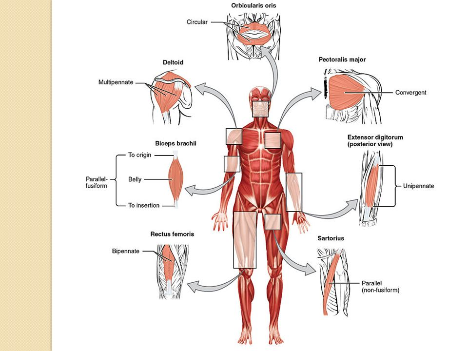 Οι προσφύσεις γίνονται πάντα με έναν τένοντα Οι τένοντες σχηματίζονται από πυκνό συνδετικό ιστό Σε έναν μυ που έχει μεγάλο μήκος το σχήμα του τένοντα είναι κυλινδρικό αποπλατυσμένο Σε έναν μυ που είναι λεπτός ο τένοντας έχεο σχήμα αποπλατυσμένης ταινίας που ονομάζεται απονεύρωση