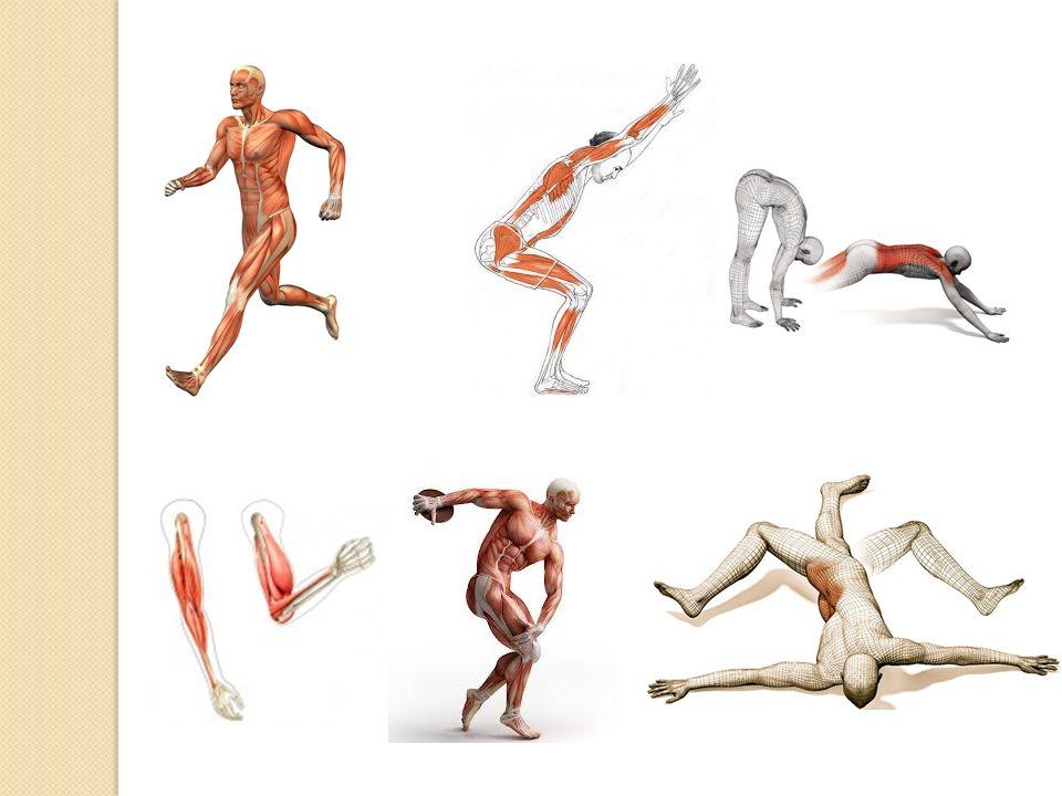 Νεύρωση των μυών Κάθε μυς νευρώνεται από έναν μικτό νευρικό κλάδο που εξαπλώνεται στο εσωτερικό του.