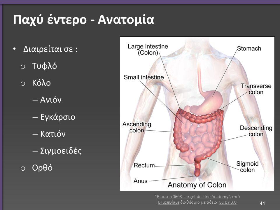 Διαιρείται σε : o Τυφλό o Κόλο – Ανιόν – Εγκάρσιο – Κατιόν – Σιγμοειδές o Ορθό 44 Παχύ έντερο - Ανατομία Blausen 0603 LargeIntestine Anatomy , από BruceBlaus διαθέσιμο με άδεια CC BY 3.0Blausen 0603 LargeIntestine Anatomy BruceBlausCC BY 3.0