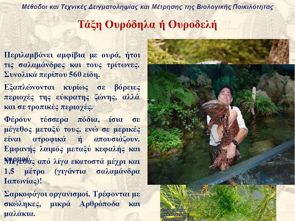 Τάξη Ουρόδηλα ή Ουροδελή Περιλαμβάνει αμφίβια με ουρά, ήτοι τις σαλαμάνδρες και τους τρίτωνες.