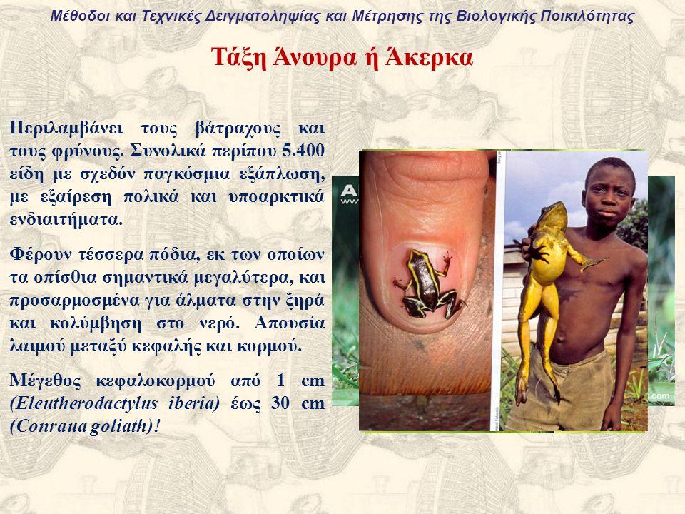 Τάξη Άνουρα ή Άκερκα Περιλαμβάνει τους βάτραχους και τους φρύνους.