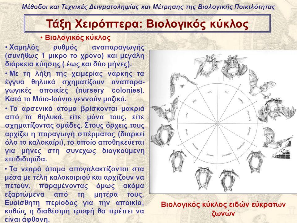 Τάξη Χειρόπτερα: Βιολογικός κύκλος Βιολογικός κύκλος Χαμηλός ρυθμός αναπαραγωγής (συνήθως 1 μικρό το χρόνο) και μεγάλη διάρκεια κύησης ( έως και δύο μήνες).