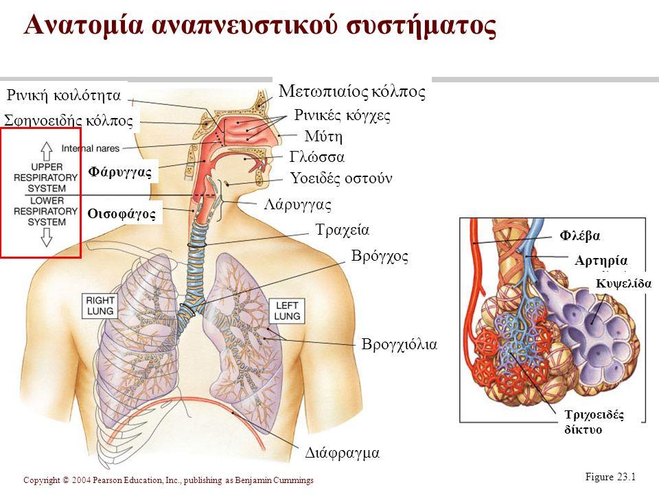Copyright © 2004 Pearson Education, Inc., publishing as Benjamin Cummings εξυπηρετεί την ανταλλαγή των αερίων, που ονομάζεται αναπνοή.