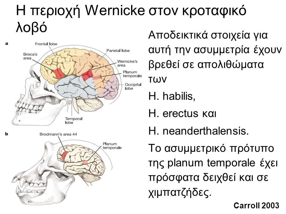 Η περιοχή Wernicke στον κροταφικό λοβό Αποδεικτικά στοιχεία για αυτή την ασυμμετρία έχουν βρεθεί σε απολιθώματα των H.