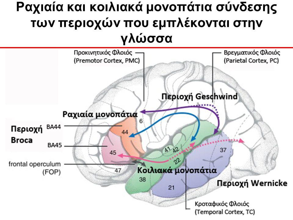 Ραχιαία και κοιλιακά μονοπάτια σύνδεσης των περιοχών που εμπλέκονται στην γλώσσα