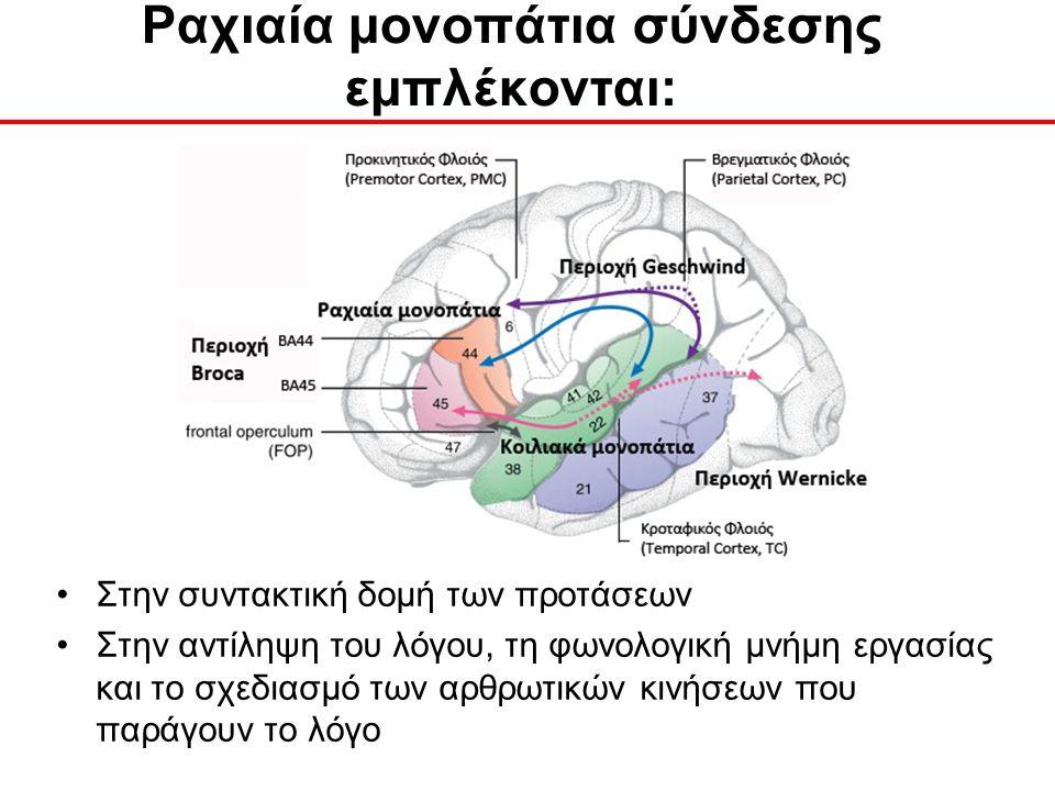 Ραχιαία μονοπάτια σύνδεσης εμπλέκονται: Στην συντακτική δομή των προτάσεων Στην αντίληψη του λόγου, τη φωνολογική μνήμη εργασίας και το σχεδιασμό των αρθρωτικών κινήσεων που παράγουν το λόγο