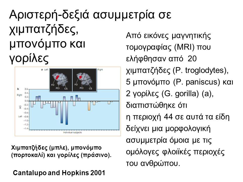 Νευρωνικά δεμάτια που σχετίζονται με την γλώσσα Τα νευρωνικά δεμάτια που σχετίζονται με την γλώσσα διαφέρουν μεταξύ των macaque, των χιμπατζήδων και των ανθρώπων.