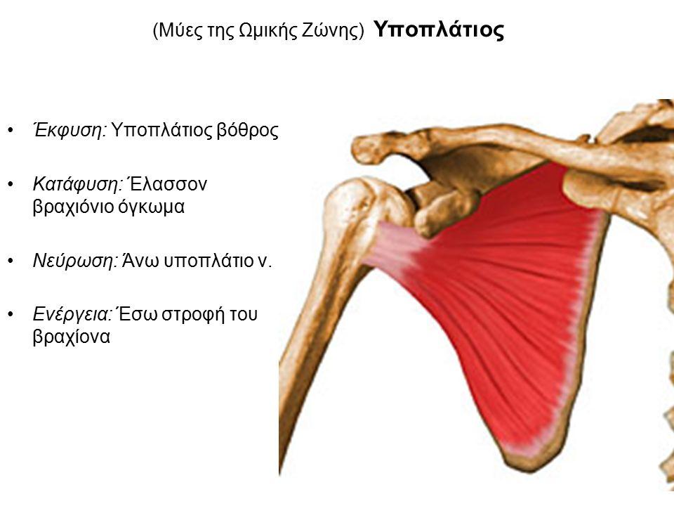 (Μύες της Ωμικής Ζώνης) Υποπλάτιος Έκφυση: Υποπλάτιος βόθρος Κατάφυση: Έλασσον βραχιόνιο όγκωμα Νεύρωση: Άνω υποπλάτιο ν.