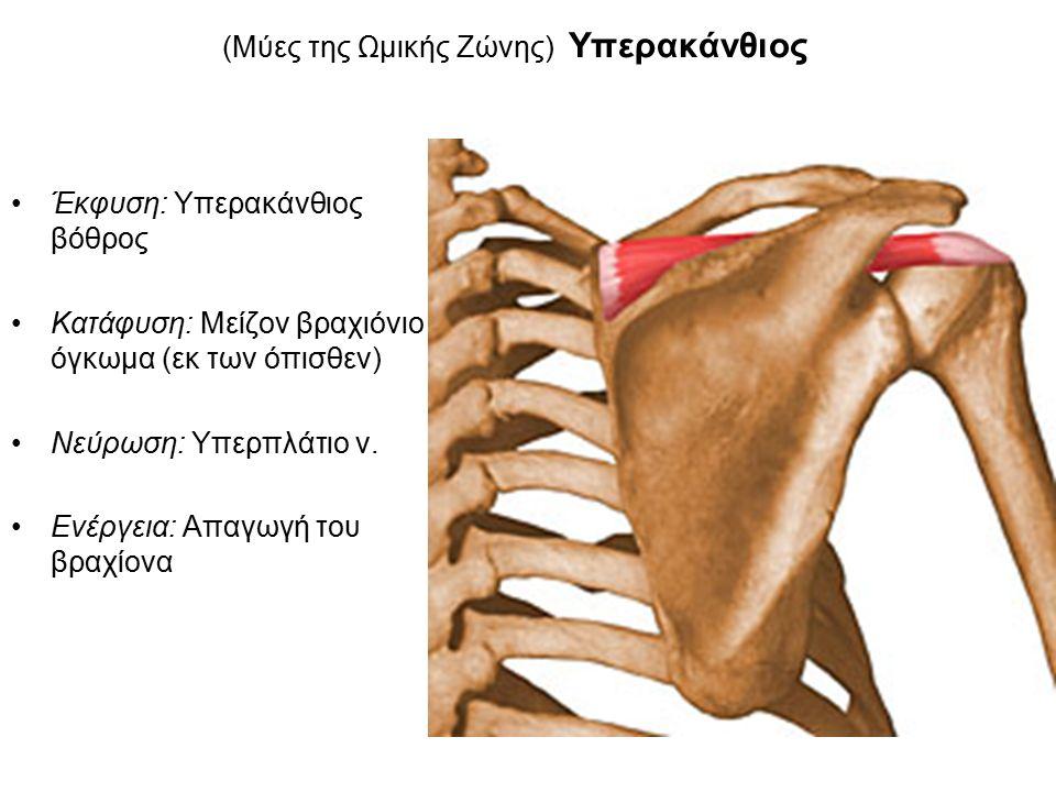 (Μύες της Ωμικής Ζώνης) Υπερακάνθιος Έκφυση: Υπερακάνθιος βόθρος Κατάφυση: Μείζον βραχιόνιο όγκωμα (εκ των όπισθεν) Νεύρωση: Υπερπλάτιο ν.