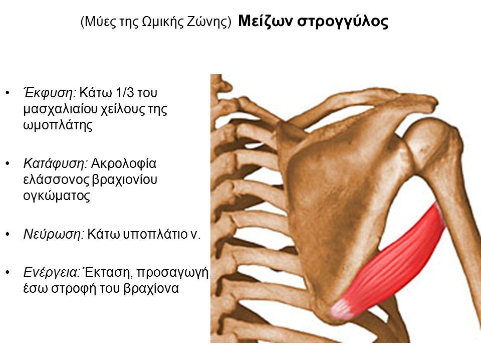 (Μύες της Ωμικής Ζώνης) Μείζων στρογγύλος Έκφυση: Κάτω 1/3 του μασχαλιαίου χείλους της ωμοπλάτης Κατάφυση: Ακρολοφία ελάσσονος βραχιονίου ογκώματος Νεύρωση: Κάτω υποπλάτιο ν.