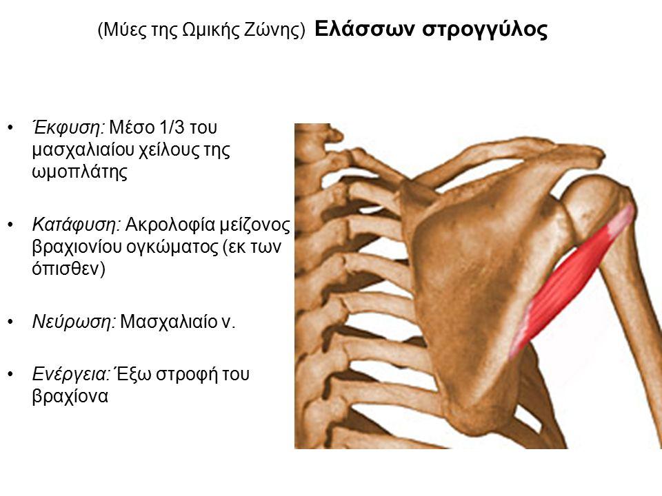 (Μύες της Ωμικής Ζώνης) Ελάσσων στρογγύλος Έκφυση: Μέσο 1/3 του μασχαλιαίου χείλους της ωμοπλάτης Κατάφυση: Ακρολοφία μείζονος βραχιονίου ογκώματος (εκ των όπισθεν) Νεύρωση: Μασχαλιαίο ν.