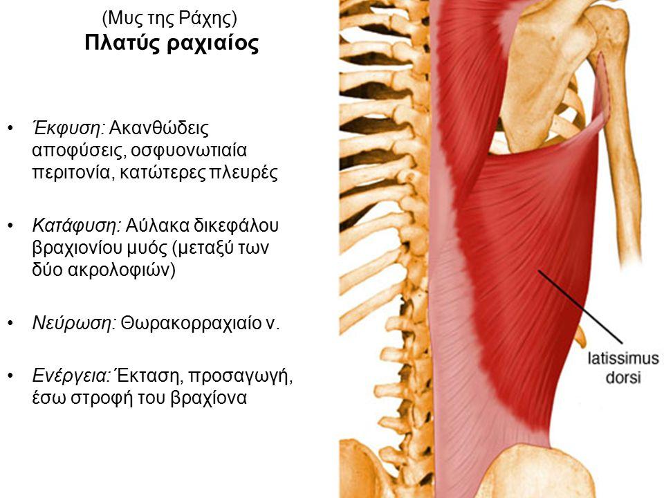 (Μυς της Ράχης) Πλατύς ραχιαίος Έκφυση: Ακανθώδεις αποφύσεις, οσφυονωτιαία περιτονία, κατώτερες πλευρές Κατάφυση: Αύλακα δικεφάλου βραχιονίου μυός (μεταξύ των δύο ακρολοφιών) Νεύρωση: Θωρακορραχιαίο ν.