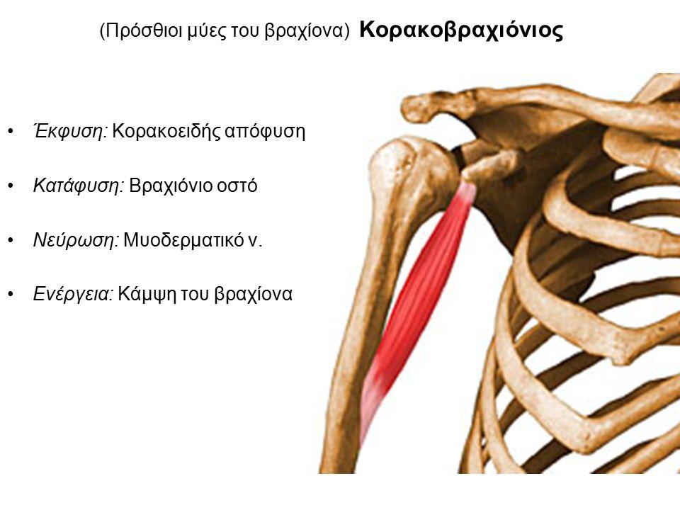 (Πρόσθιοι μύες του βραχίονα) Κορακοβραχιόνιος Έκφυση: Κορακοειδής απόφυση Κατάφυση: Βραχιόνιο οστό Νεύρωση: Μυοδερματικό ν.