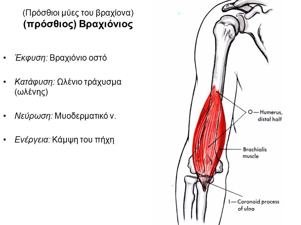 (Πρόσθιοι μύες του βραχίονα) (πρόσθιος) Βραχιόνιος Έκφυση: Βραχιόνιο οστό Κατάφυση: Ωλένιο τράχυσμα (ωλένης) Νεύρωση: Μυοδερματικό ν.