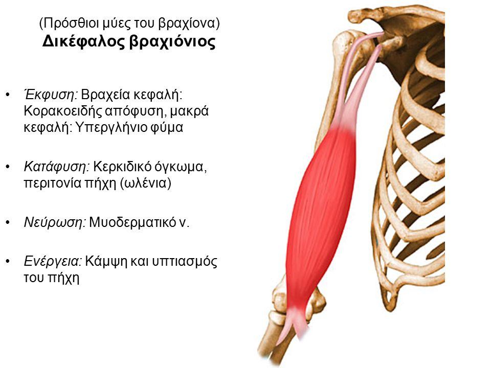 (Πρόσθιοι μύες του βραχίονα) Δικέφαλος βραχιόνιος Έκφυση: Βραχεία κεφαλή: Κορακοειδής απόφυση, μακρά κεφαλή: Υπεργλήνιο φύμα Κατάφυση: Κερκιδικό όγκωμα, περιτονία πήχη (ωλένια) Νεύρωση: Μυοδερματικό ν.
