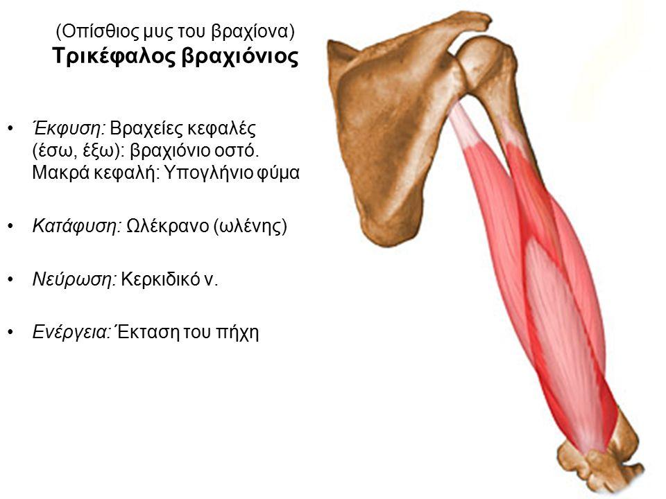 (Οπίσθιος μυς του βραχίονα) Τρικέφαλος βραχιόνιος Έκφυση: Βραχείες κεφαλές (έσω, έξω): βραχιόνιο οστό.