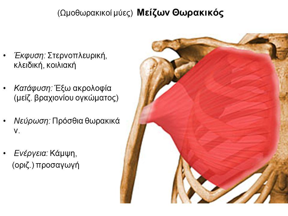 (Ωμοθωρακικοί μύες) Μείζων Θωρακικός Έκφυση: Στερνοπλευρική, κλειδική, κοιλιακή Κατάφυση: Έξω ακρολοφία (μείζ.