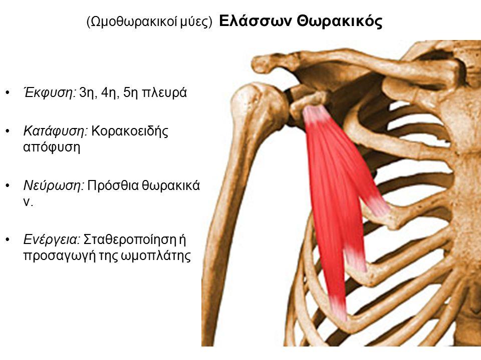 (Ωμοθωρακικοί μύες) Ελάσσων Θωρακικός Έκφυση: 3η, 4η, 5η πλευρά Κατάφυση: Κορακοειδής απόφυση Νεύρωση: Πρόσθια θωρακικά ν.