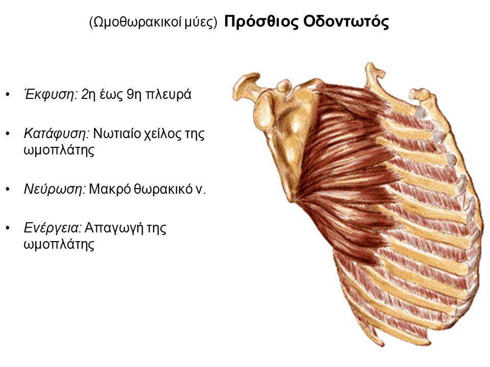 (Ωμοθωρακικοί μύες) Πρόσθιος Οδοντωτός Έκφυση: 2η έως 9η πλευρά Κατάφυση: Νωτιαίο χείλος της ωμοπλάτης Νεύρωση: Μακρό θωρακικό ν.