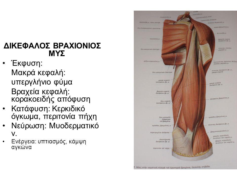 ΔΙΚΕΦΑΛΟΣ ΒΡΑΧΙΟΝΙΟΣ ΜΥΣ Έκφυση: Μακρά κεφαλή: υπεργλήνιο φύμα Βραχεία κεφαλή: κορακοειδής απόφυση Κατάφυση: Κερκιδικό όγκωμα, περιτονία πήχη Νεύρωση: