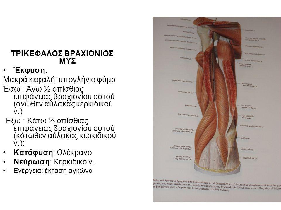 ΤΡΙΚΕΦΑΛΟΣ ΒΡΑΧΙΟΝΙΟΣ ΜΥΣ Έκφυση: Μακρά κεφαλή: υπογλήνιο φύμα Έσω : Άνω ½ οπίσθιας επιφάνειας βραχιονίου οστού (άνωθεν αύλακας κερκιδικού ν.) Έξω : Κάτω ½ οπίσθιας επιφάνειας βραχιονίου οστού (κάτωθεν αύλακας κερκιδικού ν.): Κατάφυση: Ωλέκρανο Νεύρωση: Κερκιδικό ν.
