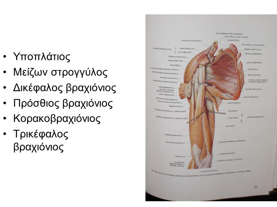 Υποπλάτιος Μείζων στρογγύλος Δικέφαλος βραχιόνιος Πρόσθιος βραχιόνιος Κορακοβραχιόνιος Τρικέφαλος βραχιόνιος