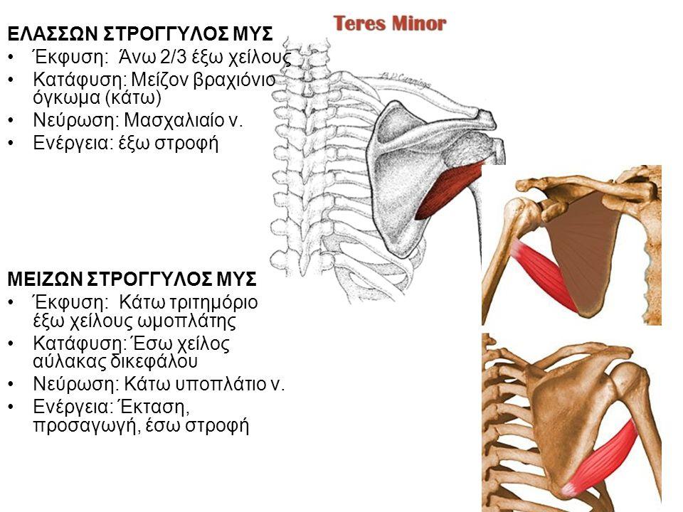 ΕΛΑΣΣΩΝ ΣΤΡΟΓΓΥΛΟΣ ΜΥΣ Έκφυση: Άνω 2/3 έξω χείλους Κατάφυση: Μείζον βραχιόνιο όγκωμα (κάτω) Νεύρωση: Μασχαλιαίο ν.