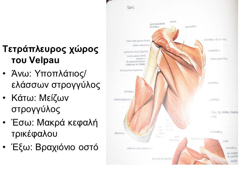 Τετράπλευρος χώρος του Velpau Άνω: Υποπλάτιος/ ελάσσων στρογγύλος Κάτω: Μείζων στρογγύλος Έσω: Μακρά κεφαλή τρικέφαλου Έξω: Βραχιόνιο οστό